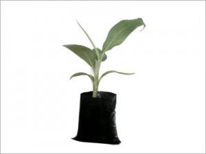 Banana-Plant-Hardening-Stage-Secondary-Hardening-